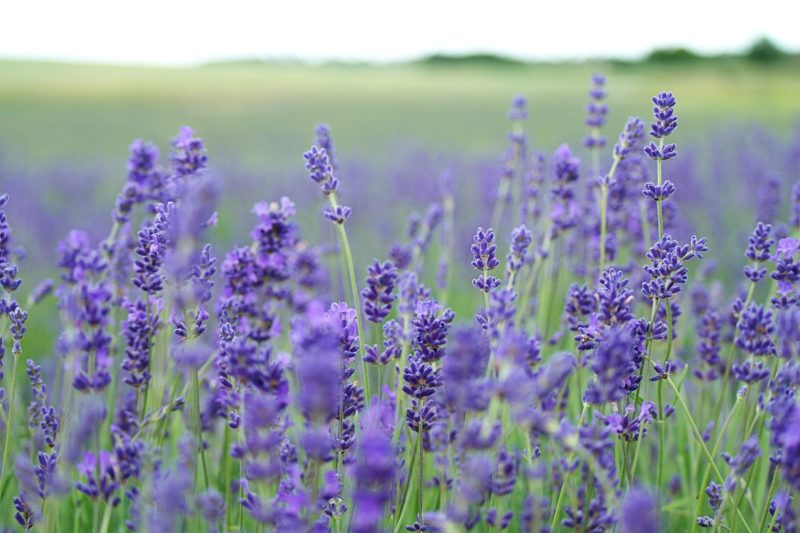 Clean T.O Ditch Your Coffee for Aromatherapy Picture of Lavender