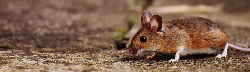Evict The Mouse In Your House ASAP Mouse