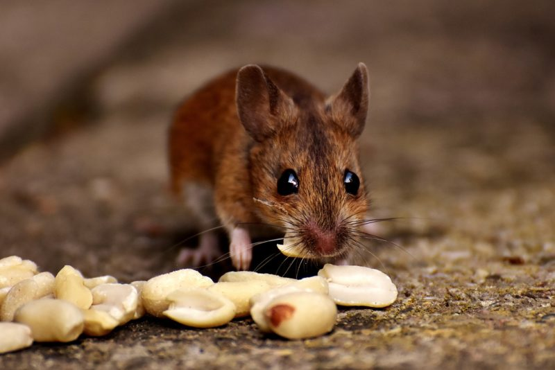 Evict The Mouse In Your House ASAP Peanuts