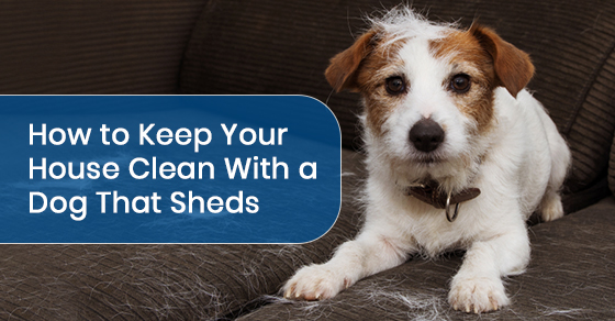 How to Keep Your House Clean With a Dog That Sheds